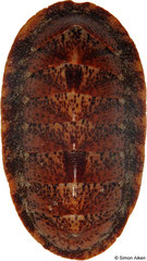 Lepidozona albrechtii (Sakhalin Island, Russia, 62mm)