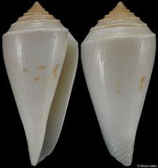 Conus bozzettii (Somalia, 40,6mm)