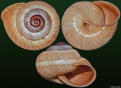 Hemitrochus rufoapicata (Cuba, 13,7mm)
