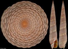 Duplicaria duplicata (Tanzania, 80,7mm)