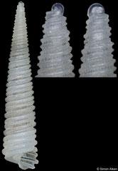 Cingulina aikeni (Philippines, 7,7mm) (holotype)
