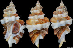 Ceratostoma fournieri (Japan, 34,9mm)