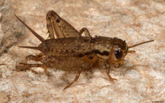 Cave cricket (Rhaphidophoridae sp.) nymph, Kampong Trach, Cambodia