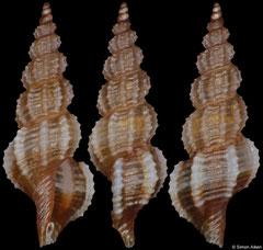 Veprecula sp. ? (Philippines, 6,5mm)