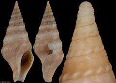 Clavatula taxea (South Africa, 52,4mm) F+++ €17.00