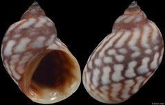 Echinolittorina melanacme (Vietnam, 10,2mm)