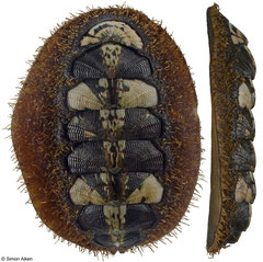 Mopalia kennerleyi (Washington, USA, 42,8mm)