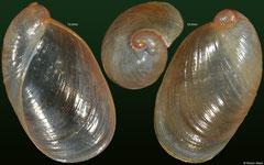Succinea tenella (Cambodia, 13,0mm, 12,0mm)