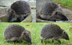 European hedgehog (Erinaceus europaeus), York, UK