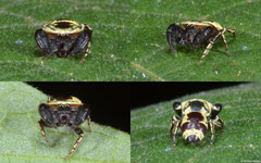Wasp-mimic jumping spider (Rhene flavicomans), Nha Trang, Vietnam
