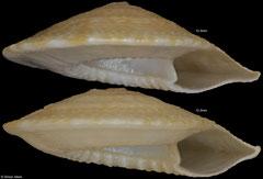 Discotectonica petasus (South Africa, 12,3mm, 12,3mm)