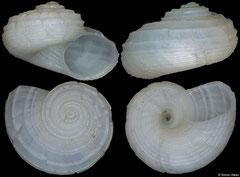 Circulus sp nov (Philippines, 12,9mm)