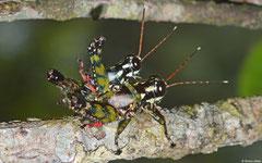 Gaudy grasshoppers (Pyrgomorphidae sp.), Andasibe, Madagascar