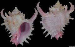 Babelomurex ricinuloides (Philippines, 21,4mm)