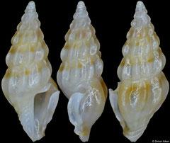Agladrillia nitens (Philippines, 7,9mm)