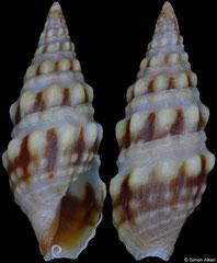 Crassispira bifurca (Pacific Mexico, 10,7mm)