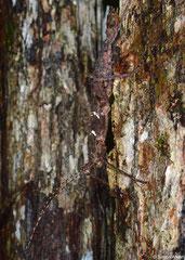 Thorny stick insect (Parectatosoma hystrix), Sahafina, Madagascar