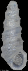 Pyramidelloides carinatus (South Africa, 1,8mm)