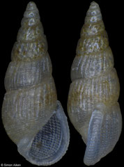 Folinia ericana (Pacific Mexico, 2,7mm) F+++ €3.50 (specimens for sale are 2.7-2.9mm and are of the same quality as the specimen illustrated)