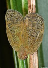 Planthopper (Fulgoromorpha sp.), Balut Island, Philippines