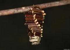 Bagworm moth (Psychidae sp.) larva, Kampong Trach, Cambodia