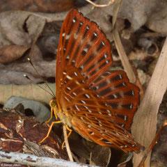 Punchinello (Zemeros flegyas), Bokor Mountain, Cambodia