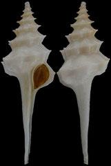 Columbarium formosissimum (South Africa, 38,2mm) F++ €20.00