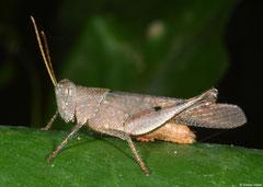 Grasshopper (Acridomorpha sp.), Angkor Chey, Cambodia