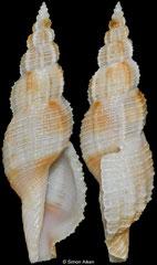 Tritonoturris elegantissima (Philippines, 27,3mm)