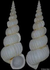 Gyroscala iwaotakii (Philippines, 16,2mm)