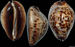 Cypraea friendii form 'sherylae' (Western Australia, 60mm)