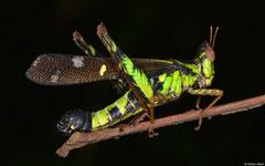 Monkey grasshopper (Erianthus versicolor), Ban Phondou, Khammouane Province, Laos