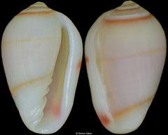 Gibberula rachmaninovi (Cape Verde, 6,5mm)