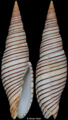 Imbricaria rufogyratus (Philippines, 40,5mm) F++ €24.00