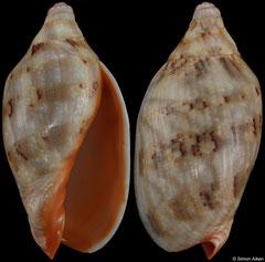 Cymbiola rutila (Papua New Guinea, 60,4mm)