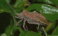 Leaf-footed bug (Spartocerini sp.), La Cumbre, Dominican Republic