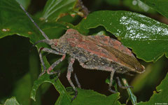 Leaf-footed bug (Spartocerini sp.), La Cumbre, Dominican Republic
