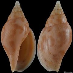 Lyria guionneti (New Caledonia, 31,1mm)
