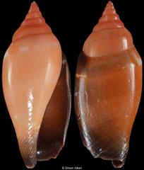Terestrombus fragilis (Philippines, 22,4mm)