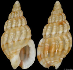 Nassarius formosus (South Africa, 6,5mm) F+++ €2.00 (specimens for sale are 5-6mm and are of the same quality as the specimen illustrated)