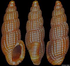 Anacithara cf. lita (Philippines, 5,0mm)