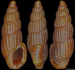 Horaiclavidae s.n. (Philippines, 5,0mm)