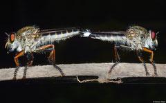 Robber flies (Asilidae sp.), Balut Island, Philippines