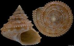 Calliostoma soyoae (Philippines, 17,8mm)