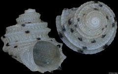 Vaceuchelus entienzai (Philippines, 6,3mm)