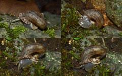 Preclaripoma thompsoni (NE of Majagual, Dominican Republic)