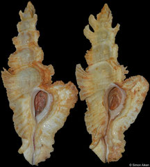 Pterynotus elongatus (yellow) (Madagascar, 86,6mm, 84,4mm) F++ €27.00 (left specimen available, right specimen sold)
