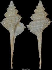 Coluzea wormaldi (New Zealand, 63,0mm)