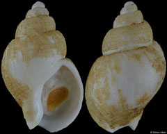 Pseudoliomesus nassula (Kuril Islands, 31,4mm)