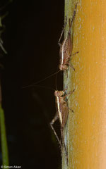 Crickets (Gryllidea sp.), Balut Island, Philippines